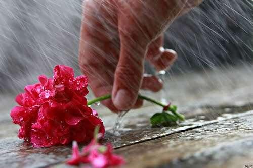 rose-hand-rain-flower-lovesove