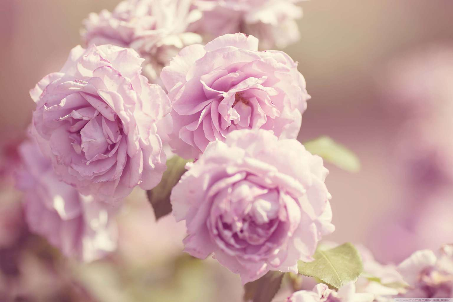 pink_roses_vintage-wallpaper-lovesove